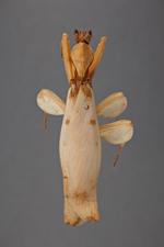 H. coronatus