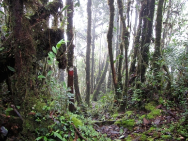 Camp3_Mulu_forestc