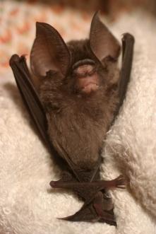 Leaf nose bat 6