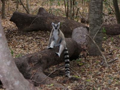 Lemur 4