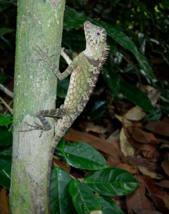 Malaysia-lizard-004