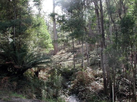 Tas rain forest3