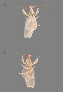 C.masoalensis