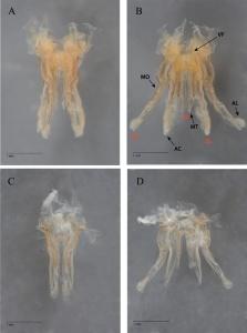Ilomantis female genitalia complex